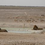 viaggi on the road in Namibia: leoni all'Etosha