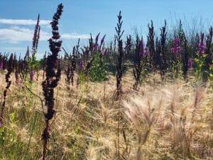 Spighe e fiori al vento - Brier Island