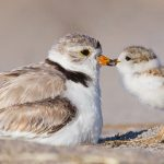 Il tenero Piping Plover