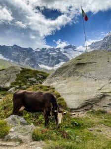 Mucche al pascolo al'Alpe Pedriola