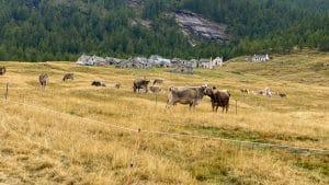 Mucche al pascolo al borgo di Cianciavero